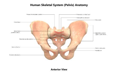anatomy pelvis chiropractic